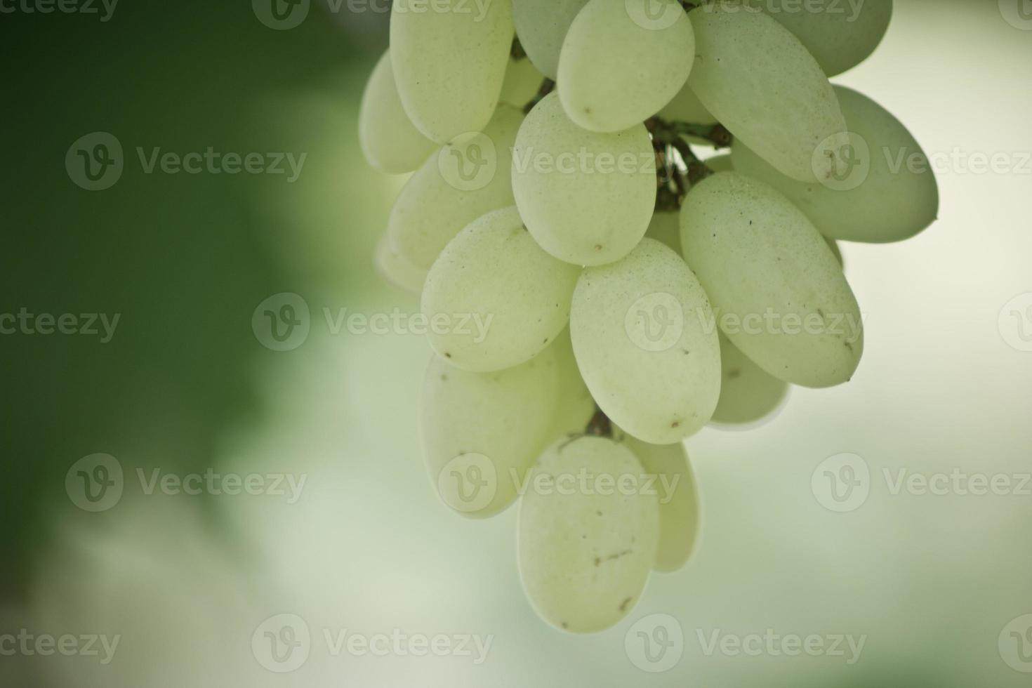 grappolo d'uva bianca foto