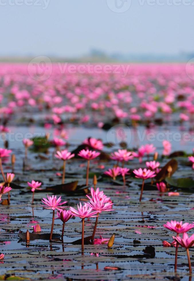 mare di loto rosa, nong han, udon thani, thailandia foto