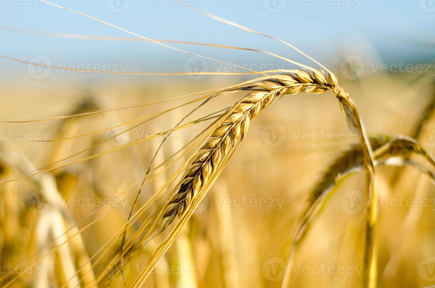 campo di grano - mais in crescita foto