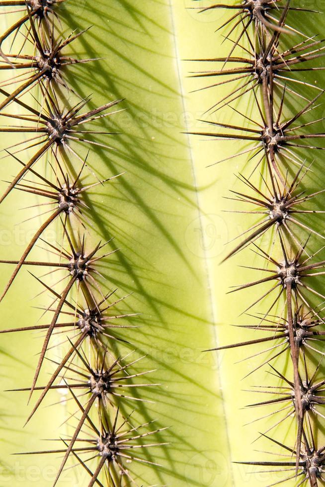 spine del cactus del saguaro foto