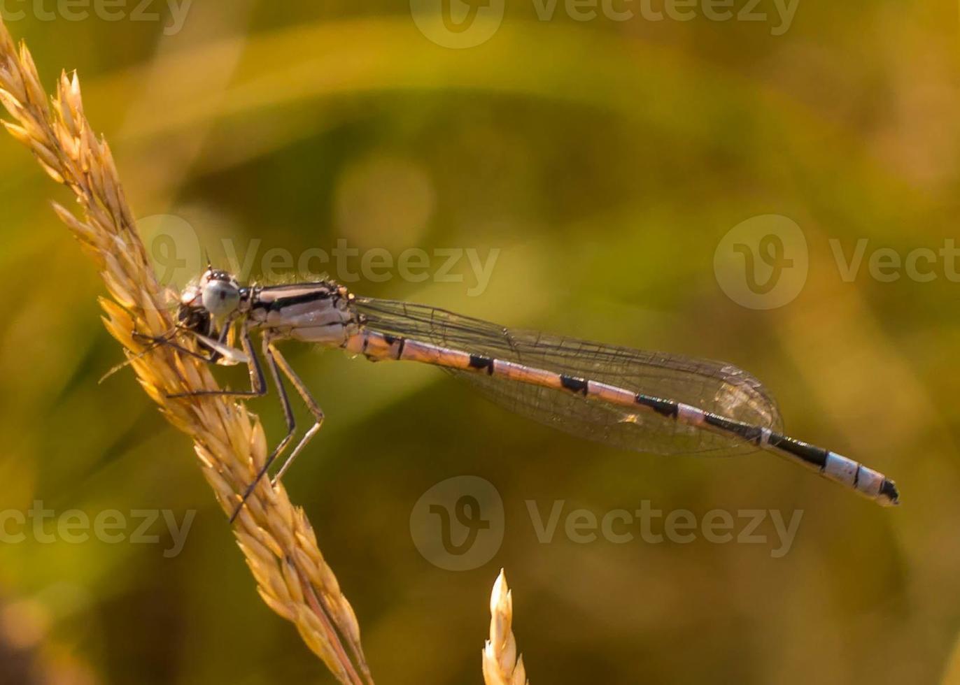libellula blu comune foto