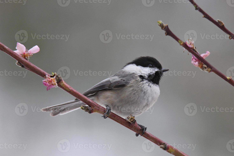 chickadee di primavera foto