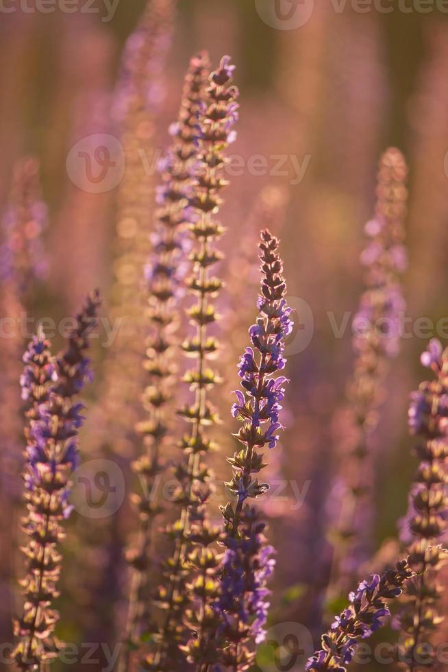 i fiori viola di salvia quando il tramonto con il raggio luminoso. foto