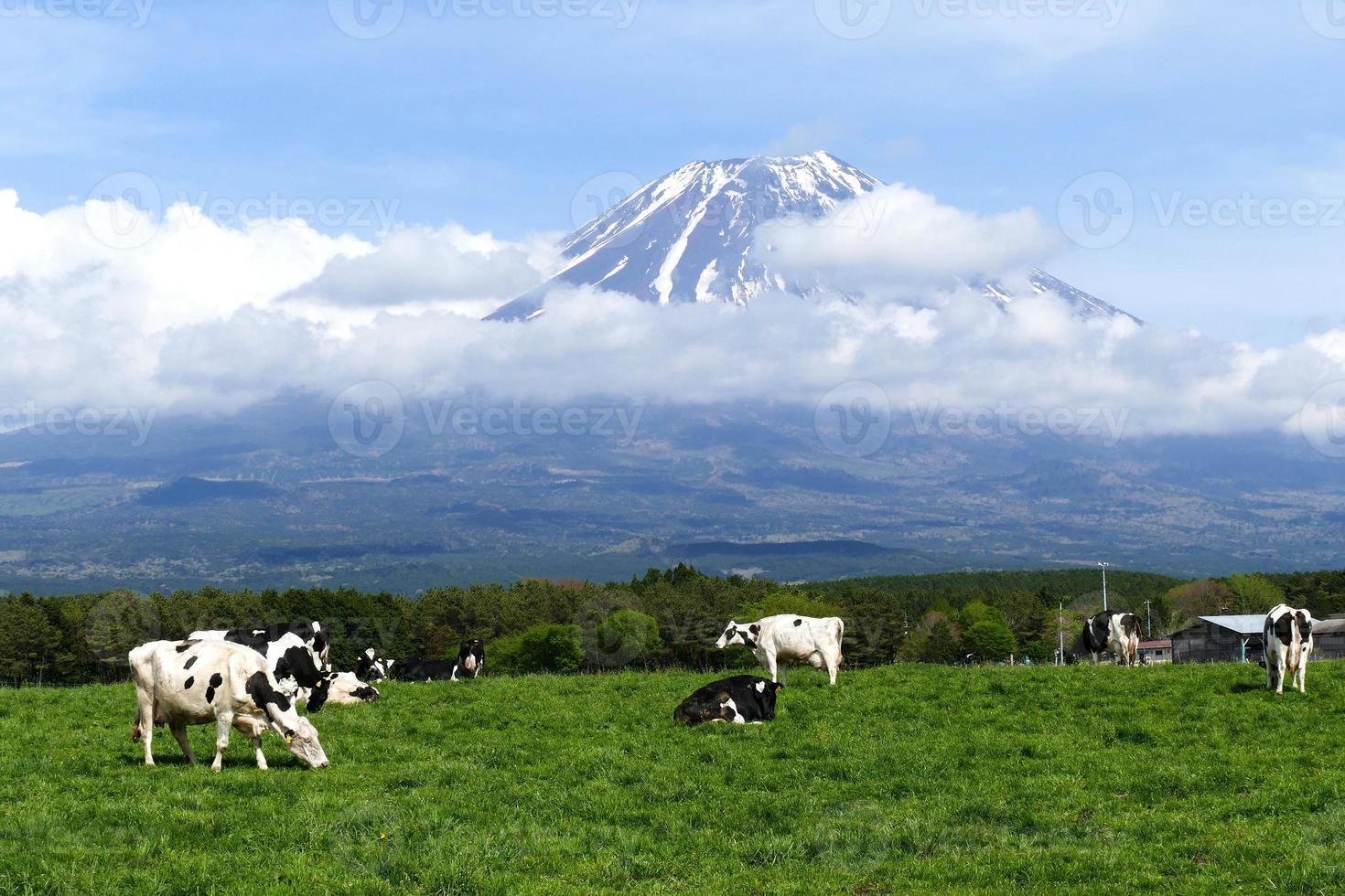 Monte Fuji e mucche all'altopiano di Asagiri a Shizuoka, in Giappone foto