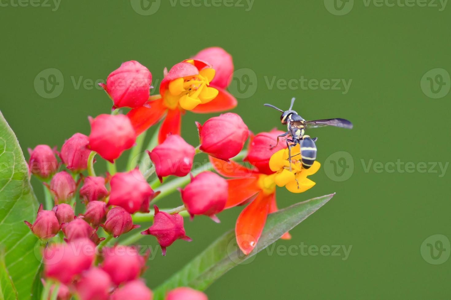 primo piano della vespa che impollina sui fiori rossi e gialli foto