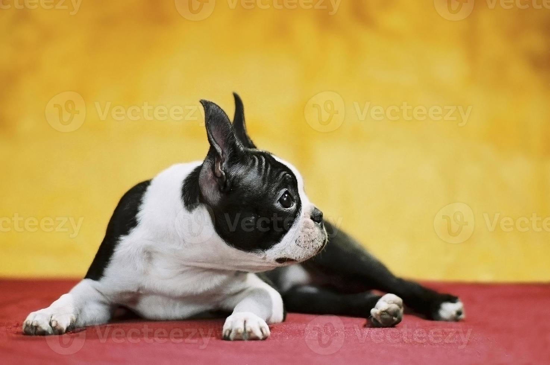 Boston Terrier foto
