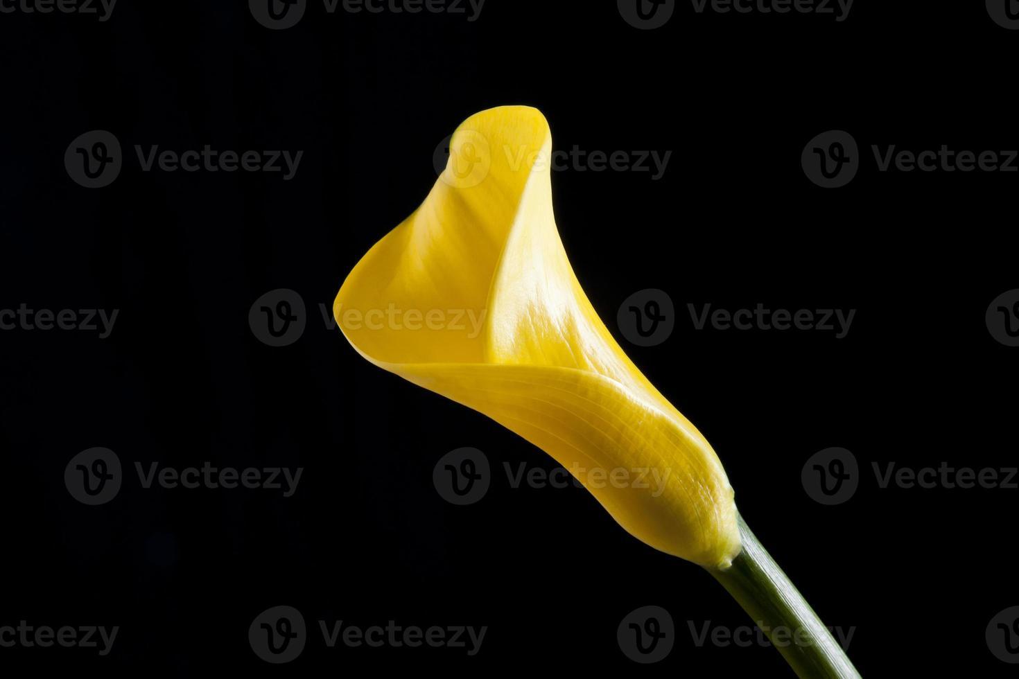 calla gialla foto