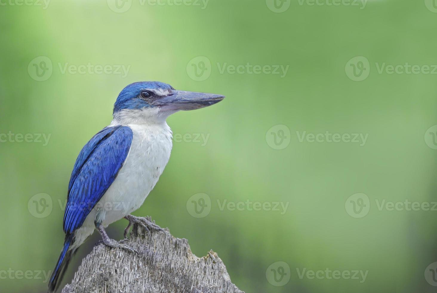 uccello (martin pescatore dal collare) che si appollaia sulla crusca migliore foto