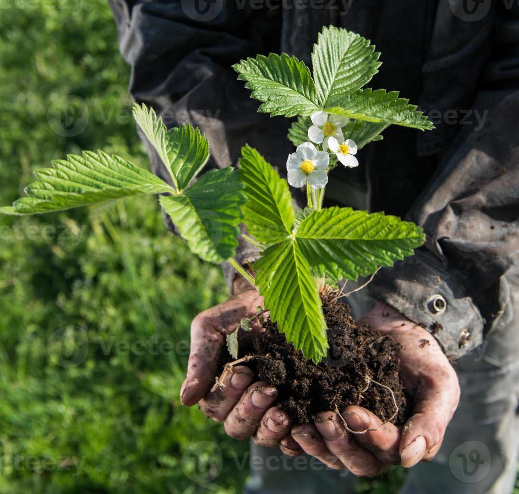 agricoltore che tiene pianta giovane verde foto