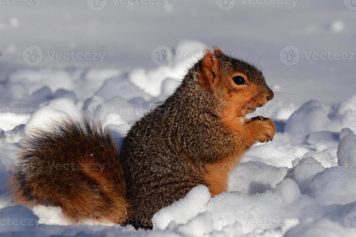 scoiattolo nella neve mangiare rivolto a destra foto