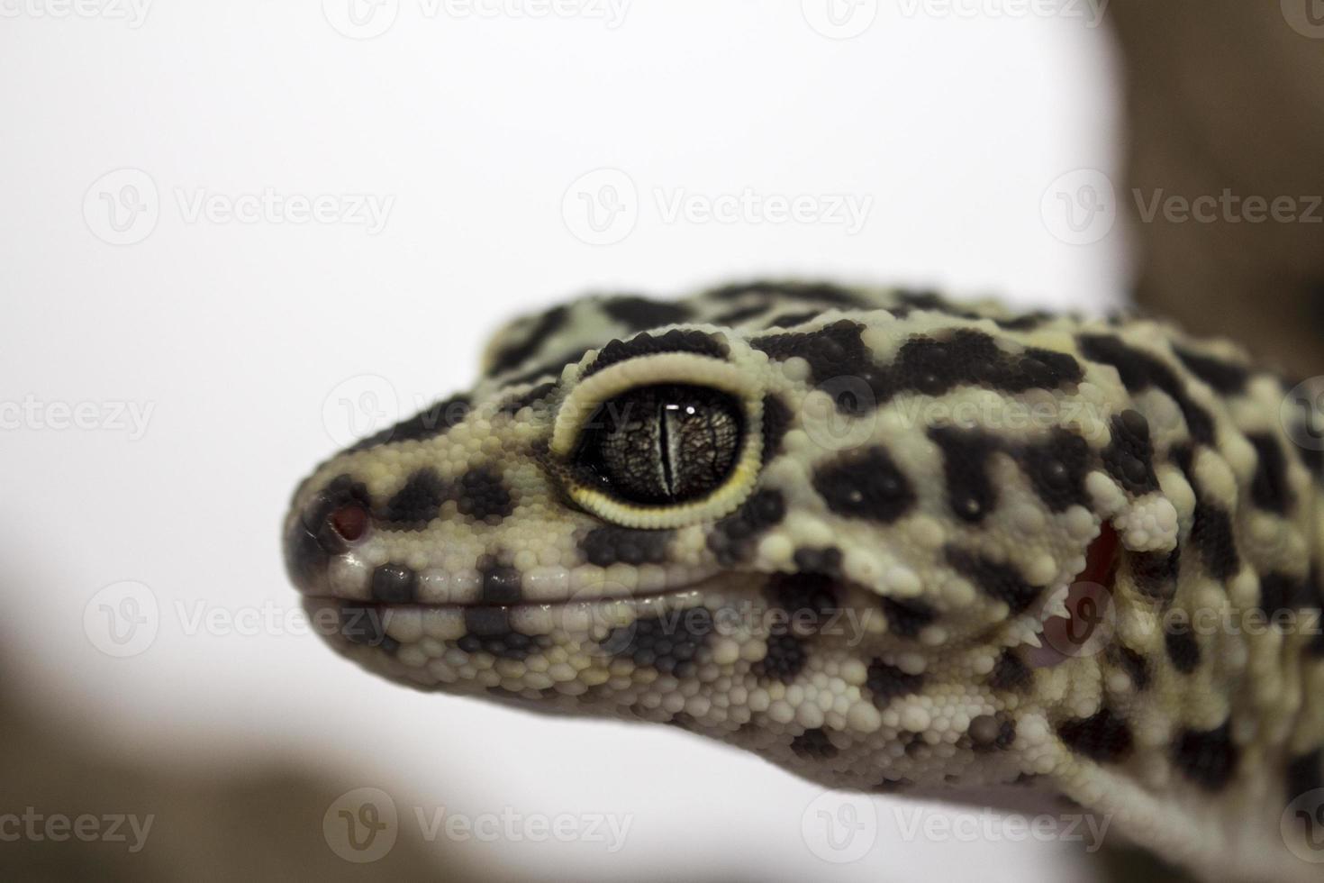 geco leopardo foto