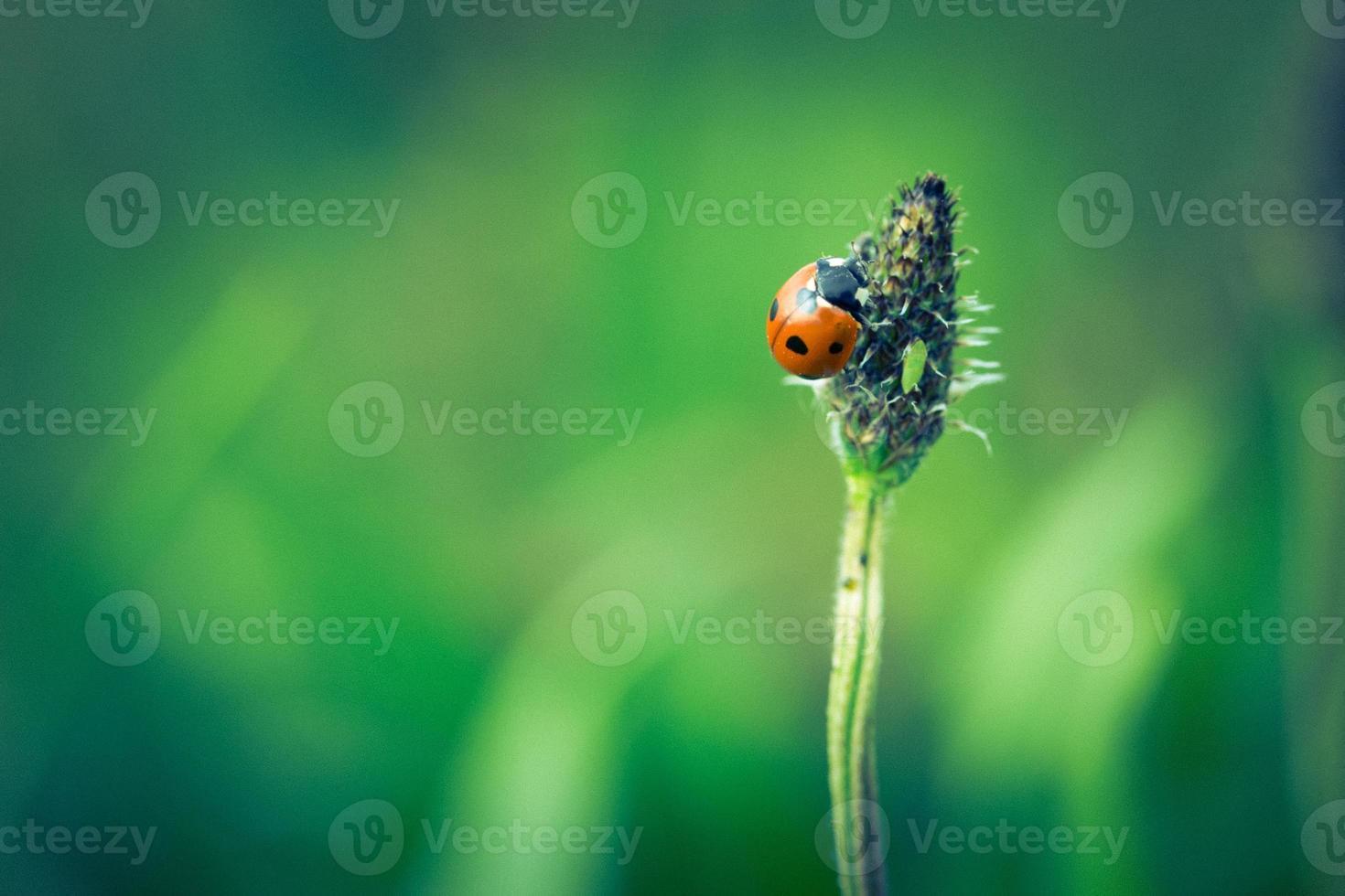 foto d'epoca di coccinella sull'erba
