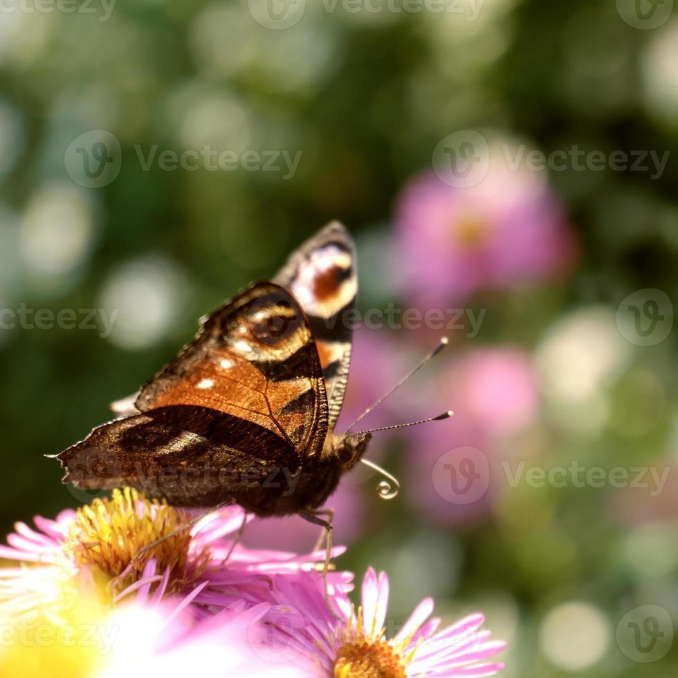 farfalla di pavone europea foto