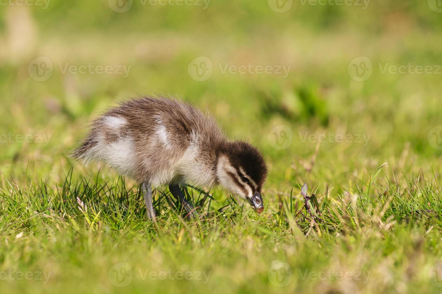 piccolo anatroccolo sull'erba foto