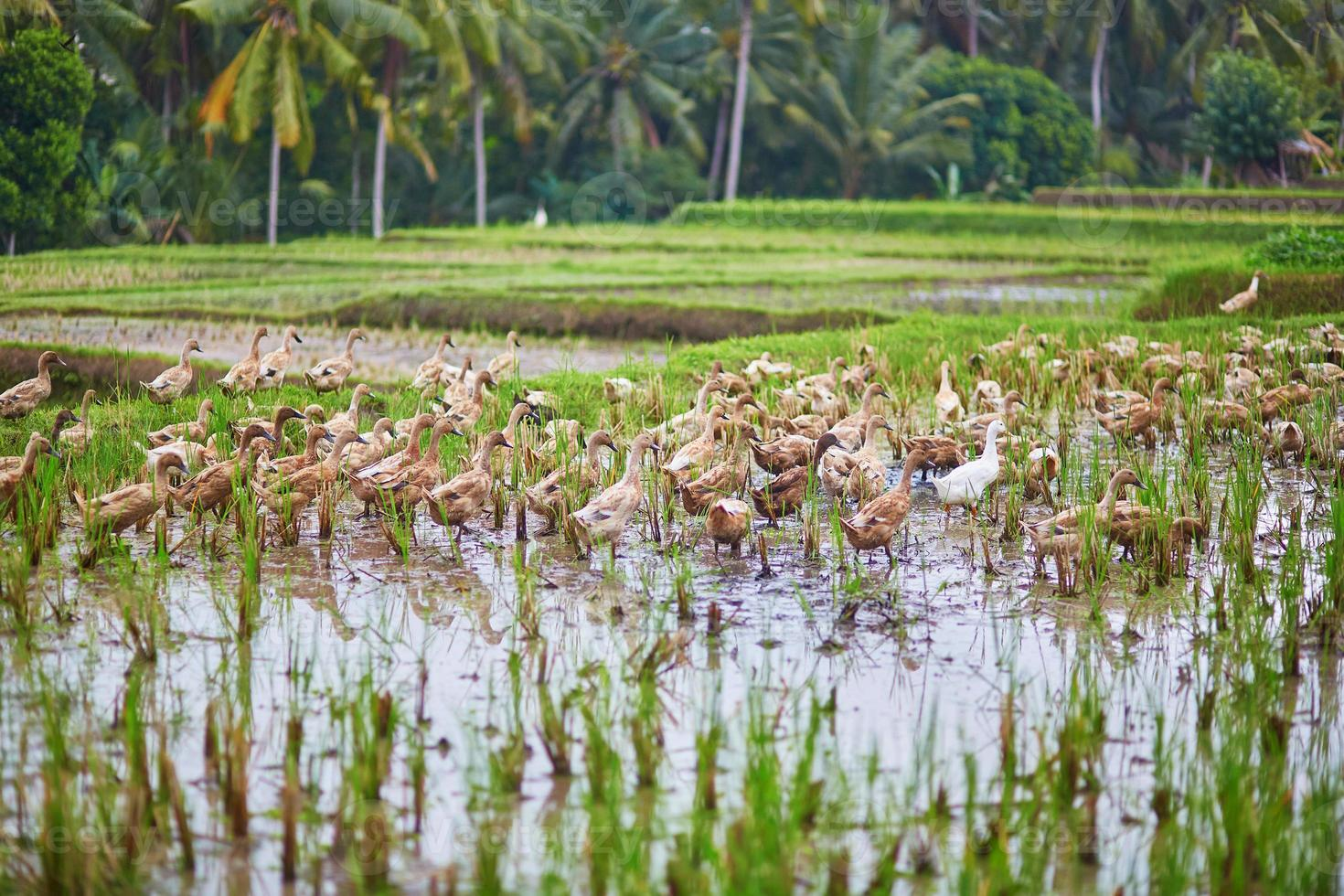 anatre sulle risaie vicino a ubud, bali, indonesia foto