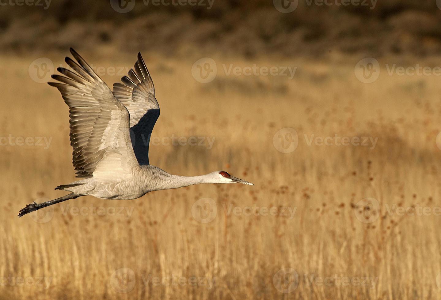 sandhill gru in volo foto