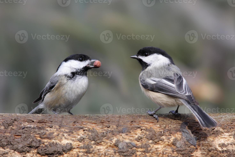 coppia di ceci neri (poecile atricapilla) foto