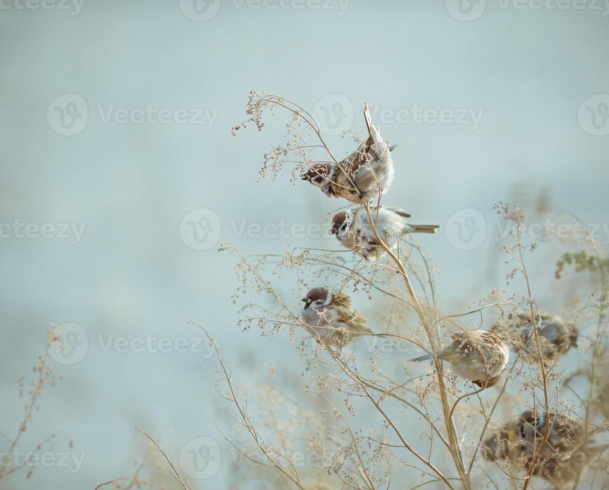 uccello passero seduto sul vecchio bastone. inverno congelato dell'uccello del passero foto
