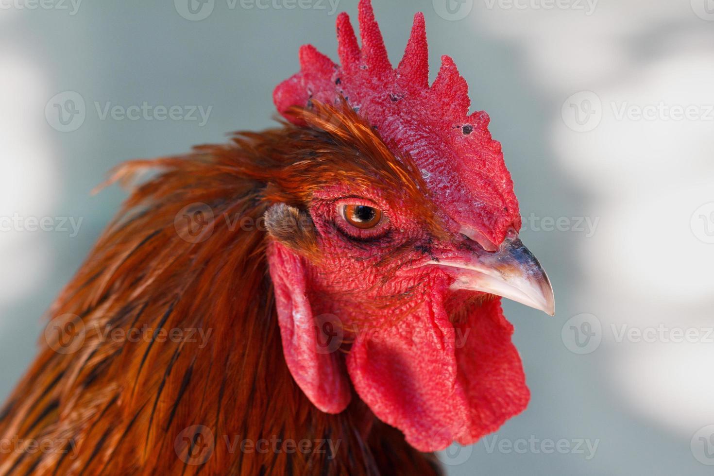 testa di gallo rosso foto