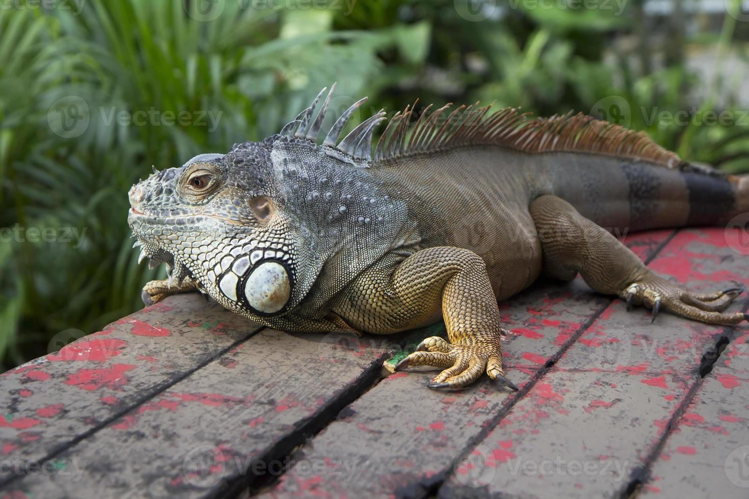 iguana. foto