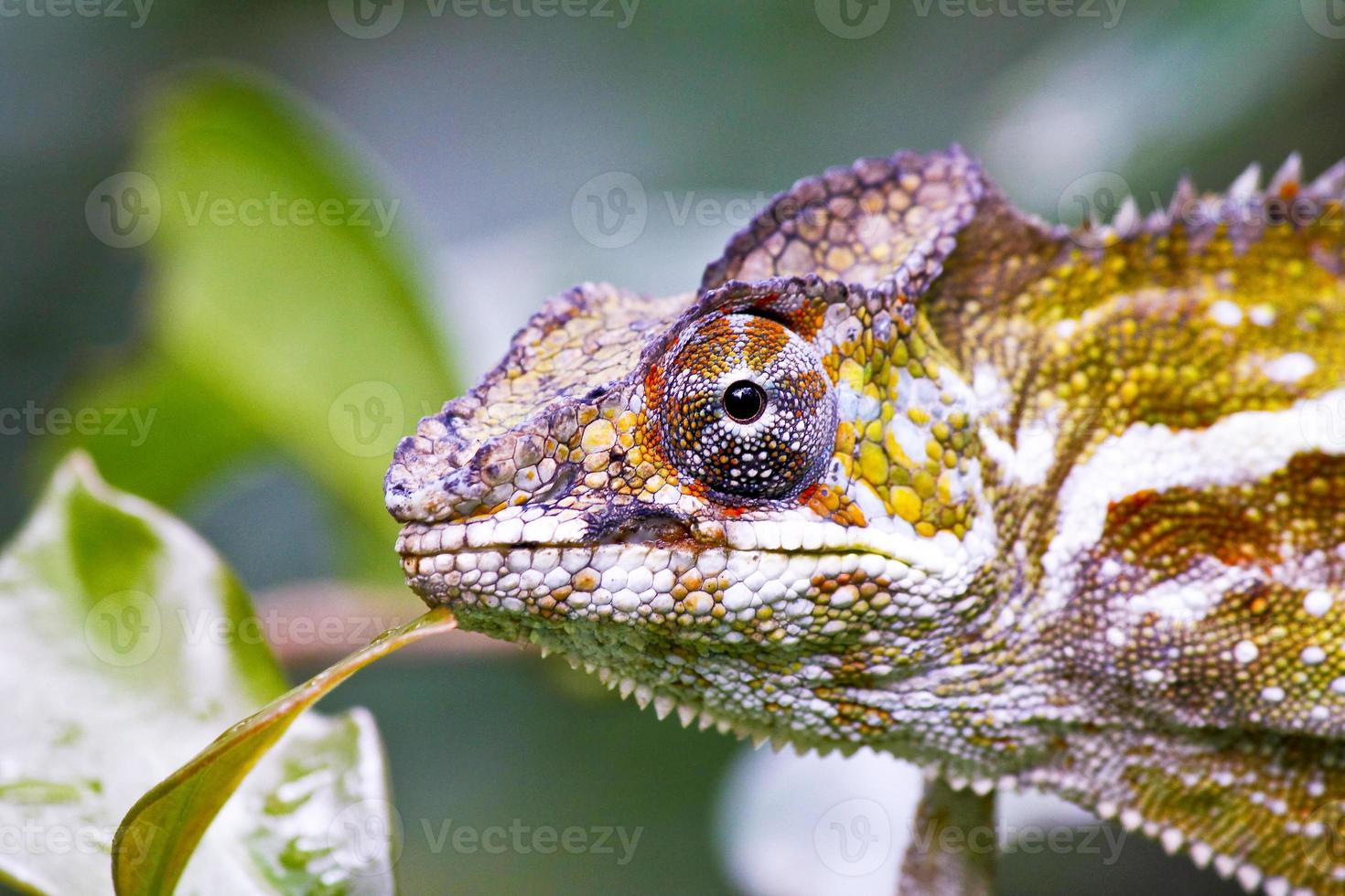 bel camaleonte colorato, lucertola di camaleonte sul Madagascar foto