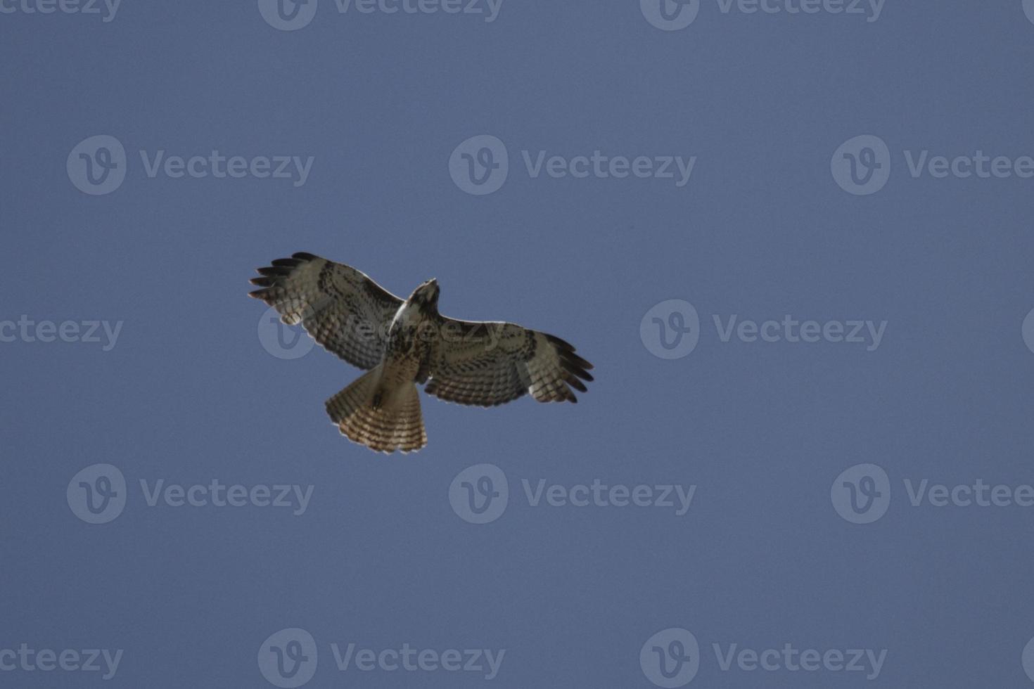 caccia al falco foto