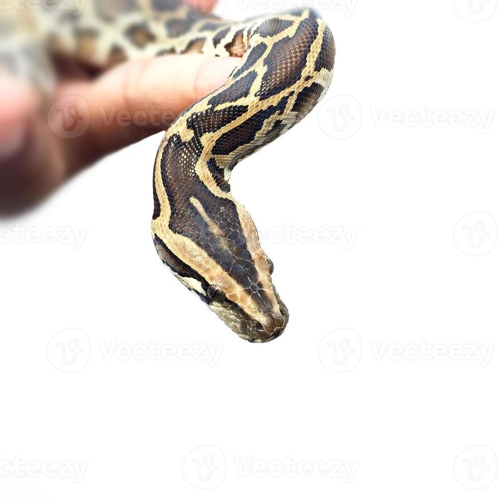 serpente pitone su sfondo bianco foto
