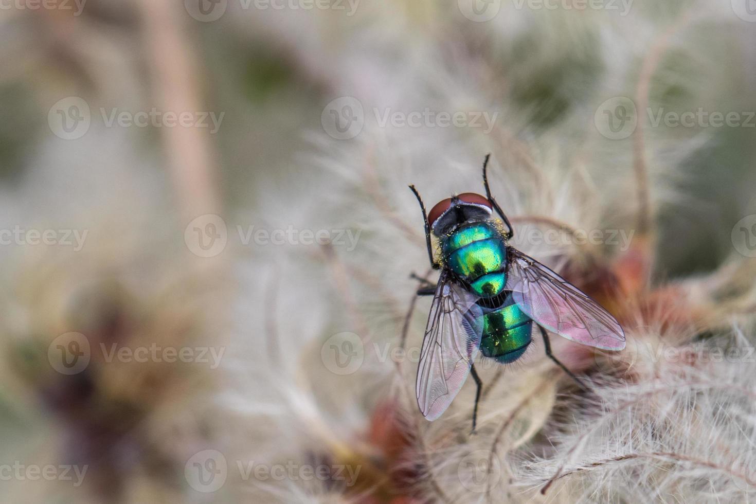 mosca verde della bottiglia foto