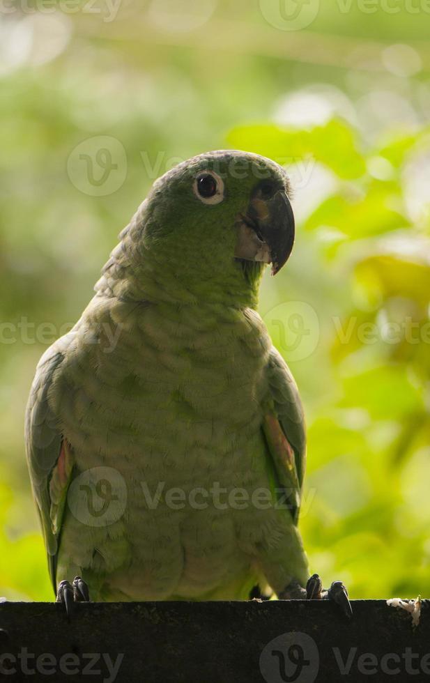 pappagallo giallo-naped foto