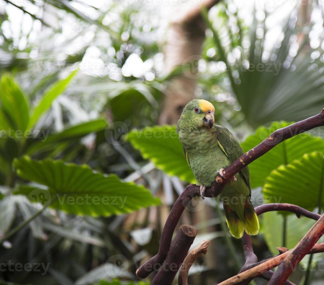 pappagallo amazzonico foto