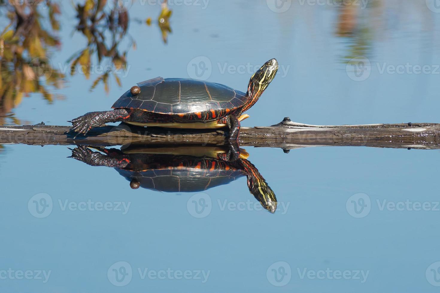 tartaruga dipinta midland foto