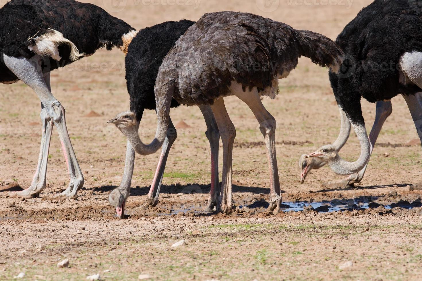 gruppo di struzzi in una pozza d'acqua nel deserto secco foto