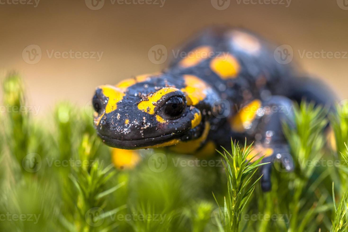 Close up di salamandra pezzata nel suo habitat naturale foto