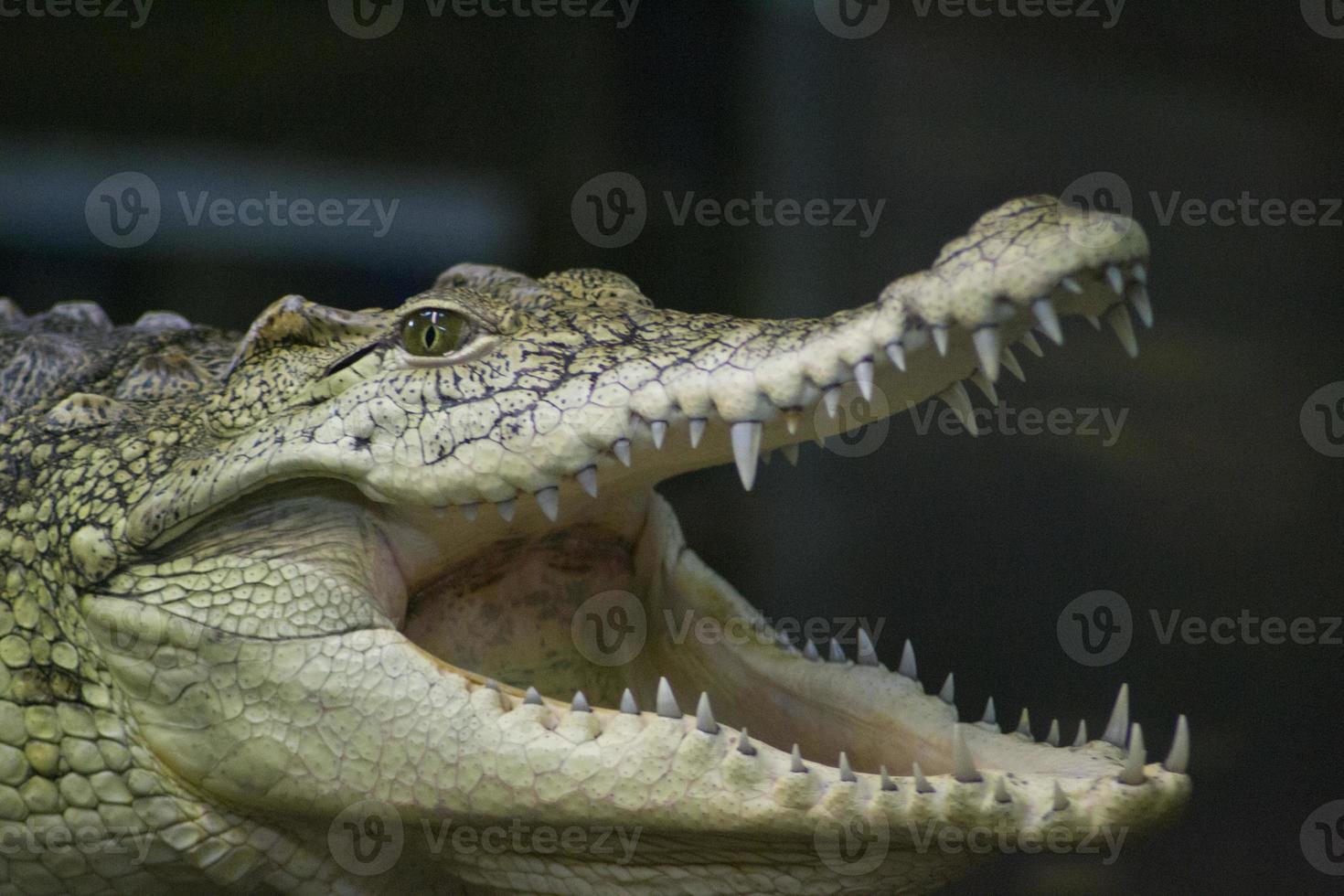 rettile di coccodrillo foto