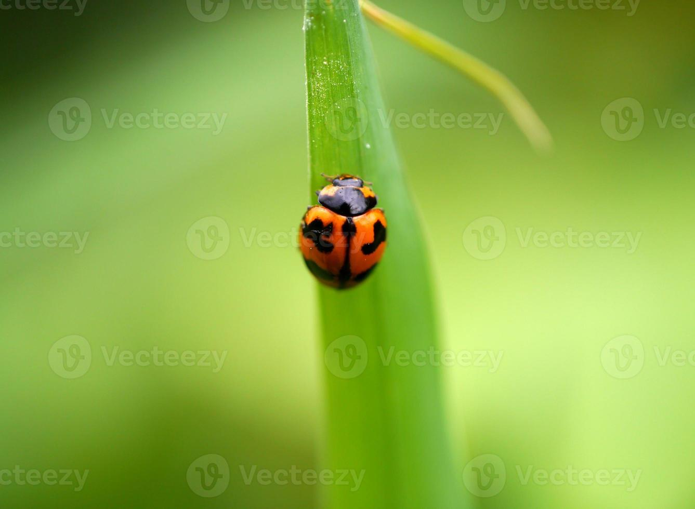 insetto: coleotteri: coccinellidi foto