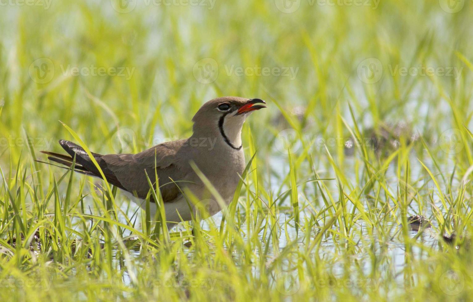 uccelli acquatici foto