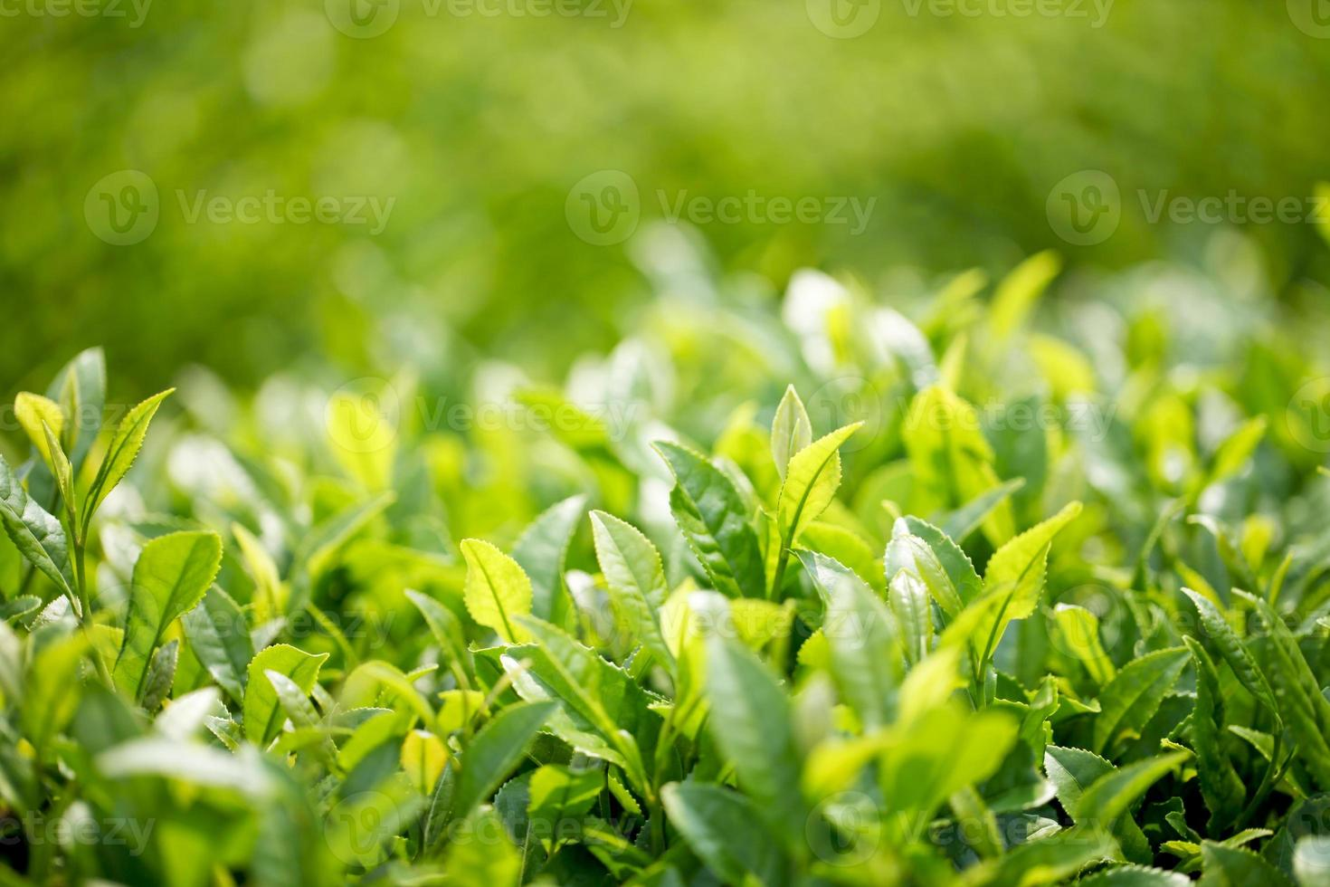 piantagione di tè foto