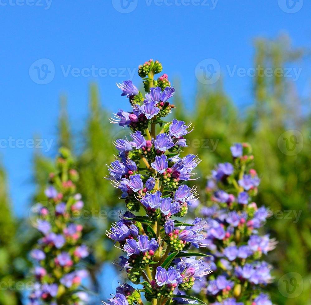 bellissimi fiori blu di echium callithyrsum foto