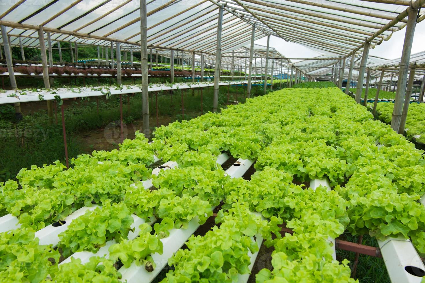 coltivazione di ortaggi senza terra foto