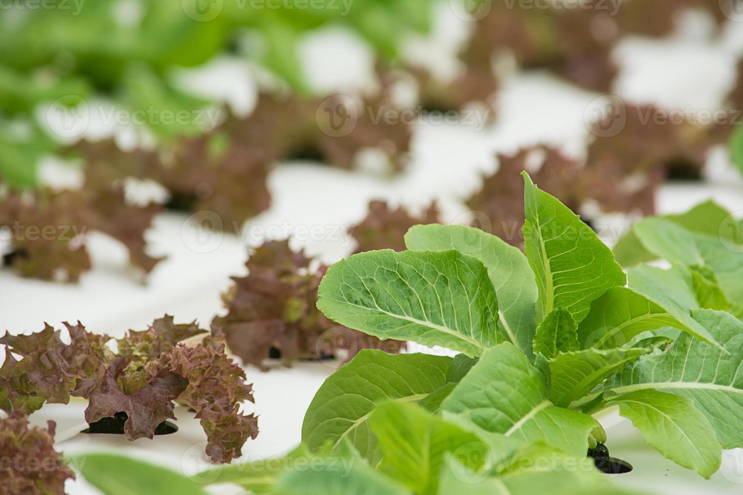 verdura idroponica organica. foto
