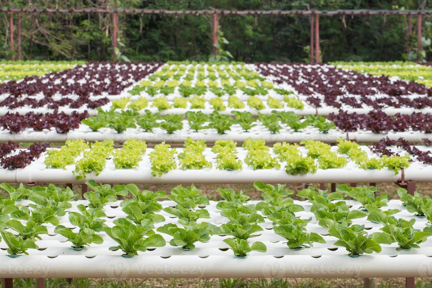 verdure idroponiche foto