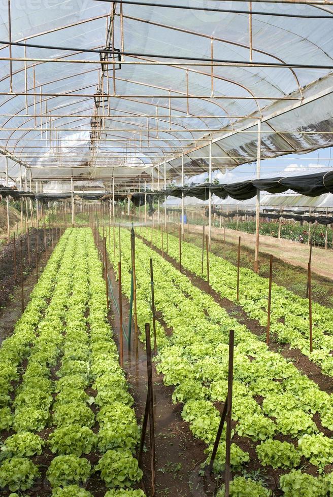 agricoltura di lattuga iceberg in azienda agricola biologica, Thailandia foto