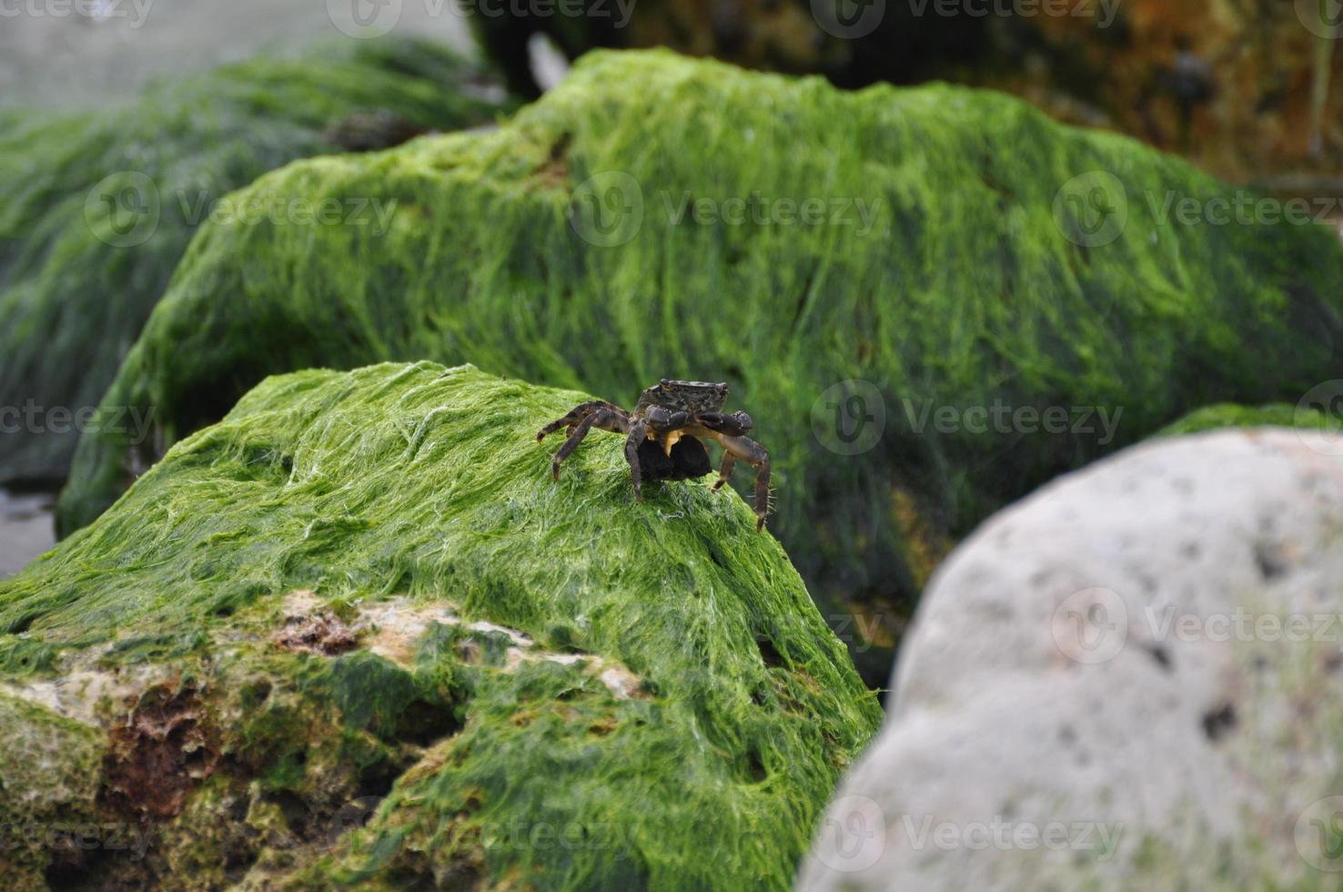 granchio su rocce di alghe foto