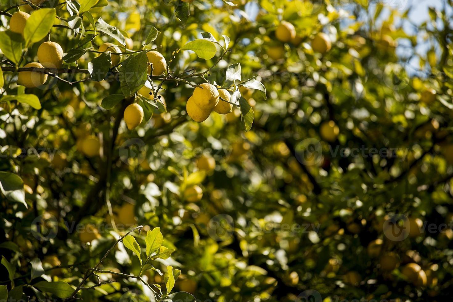 albero di limoni foto