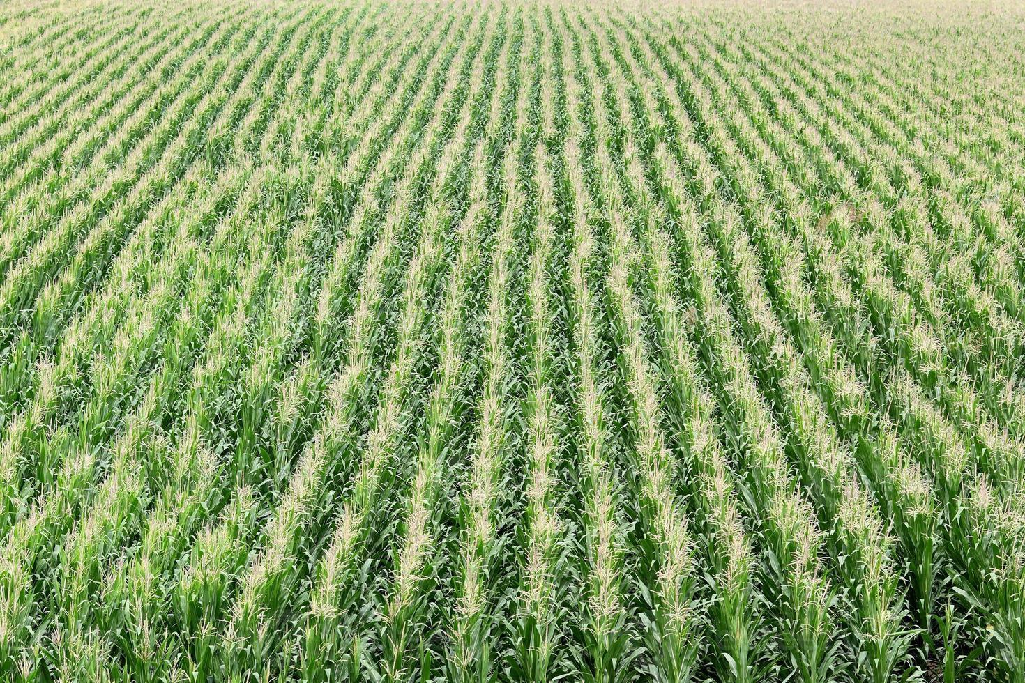 agricoltura, campo di grano foto