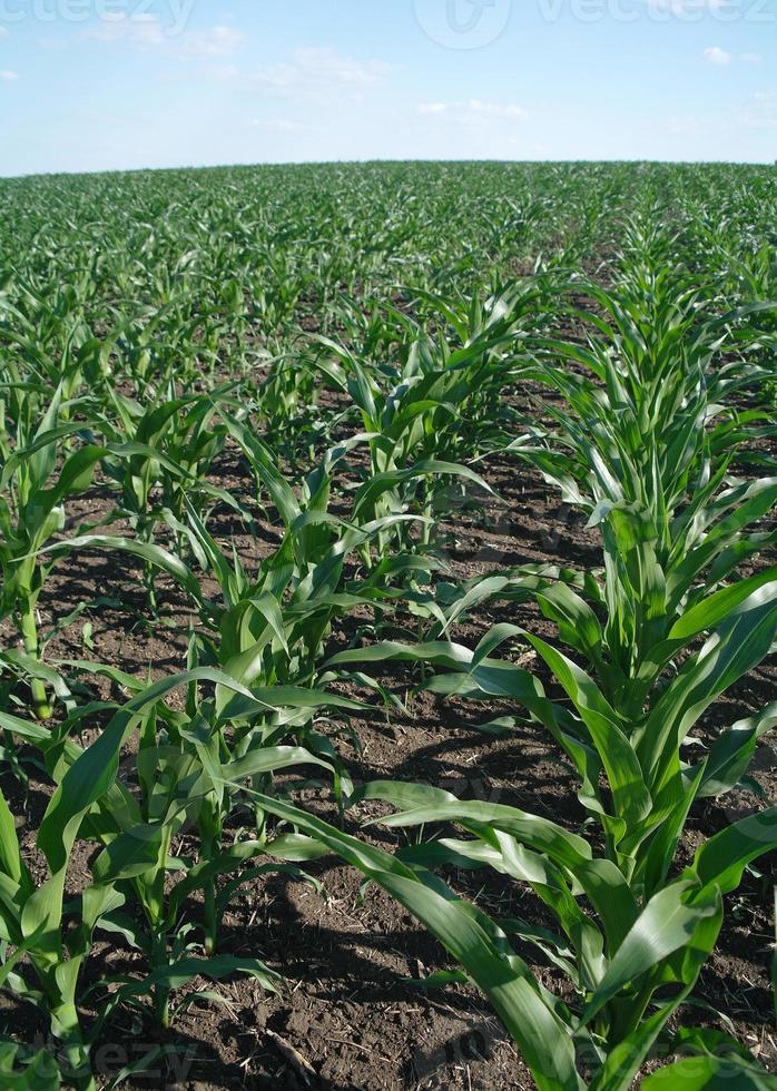 campo di grano verde foto