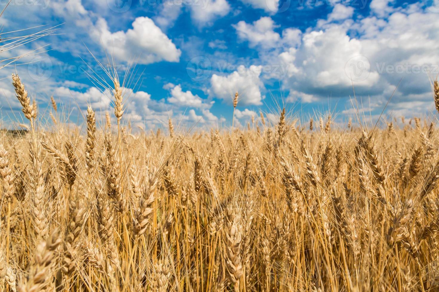 campo di grano, raccolto fresco di grano foto
