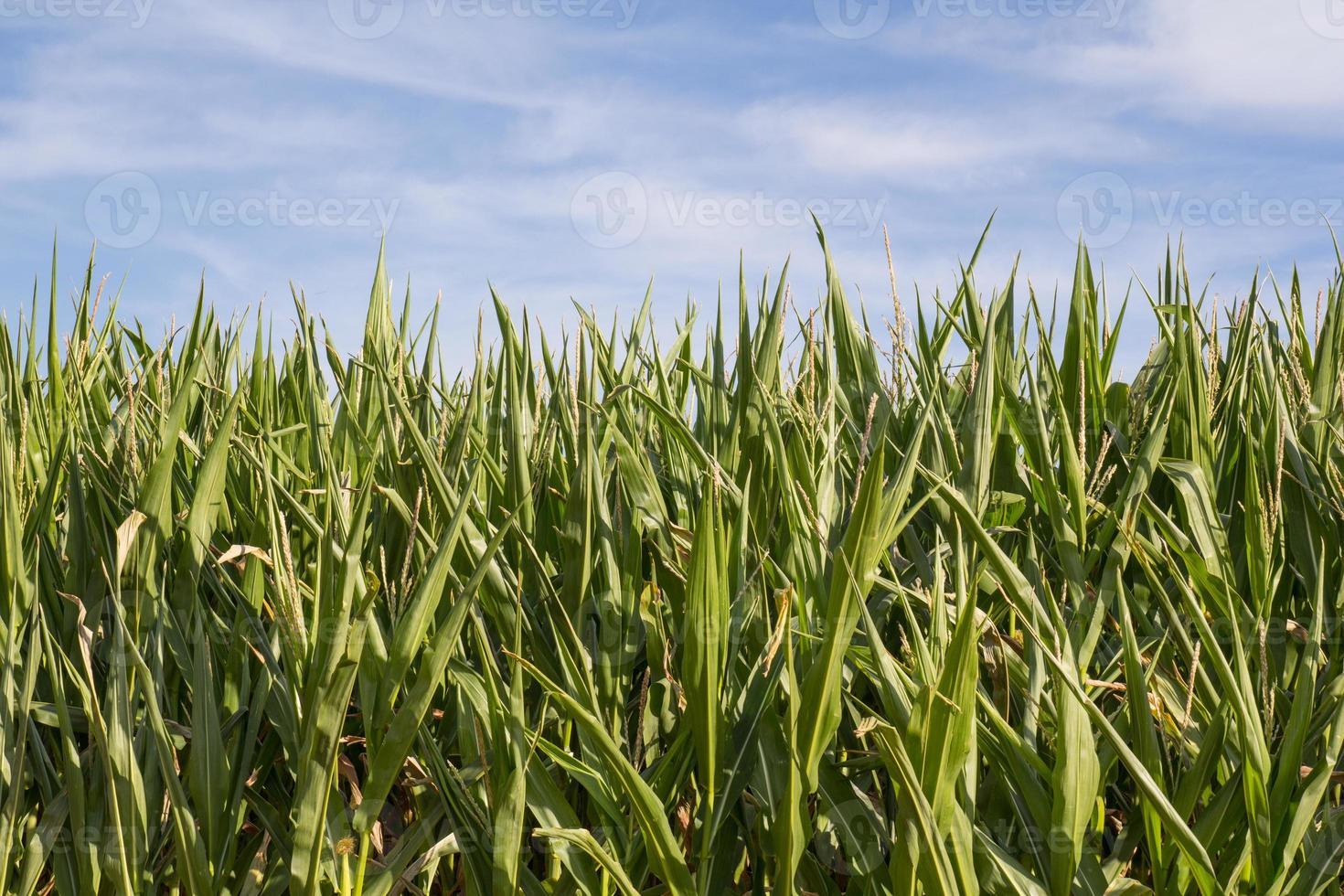 campo di grano in estate foto