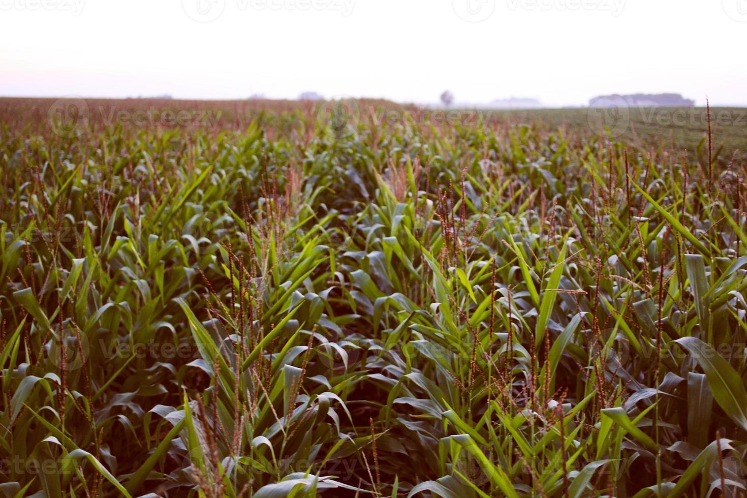 sera campo di grano foto