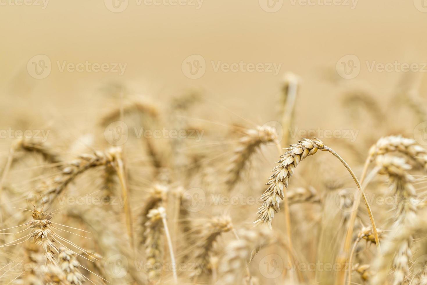campo di grano (ripresa ravvicinata) foto